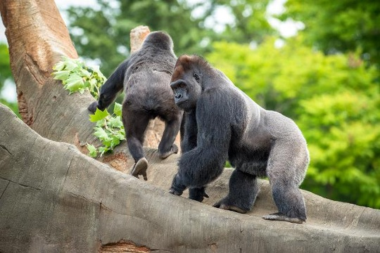 Gorilla Family in houston zoo