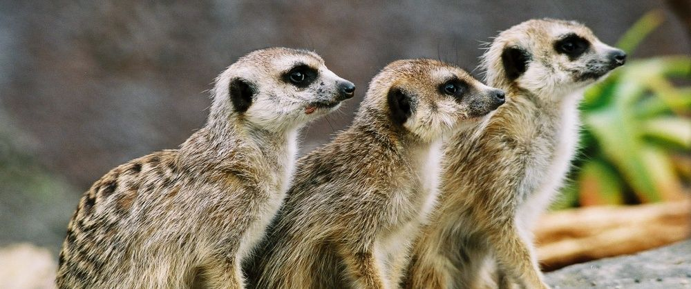 Wellington-Zoo-Meerkats