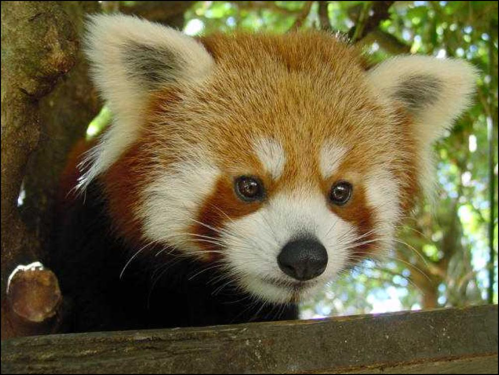 Red-Panda-Wellington-Zoo