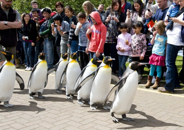 edinburgh zoo penguin parade