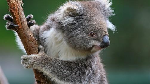 koala in melbourne zoo