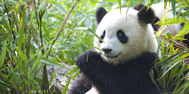 panda in edinburgh zoo
