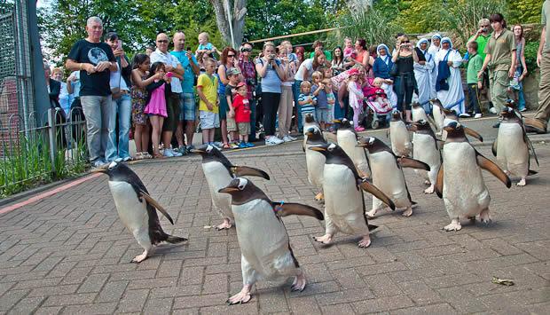 penguin parade in edinburgh zoo